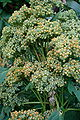 Chenopodium quinoa before flowering.jpg