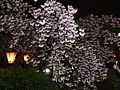 """Cherry-Blossom-Viewing through the """"Tunnel"""" at Japan Mint in 201504 056.JPG"""
