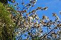 Cherry Blossom (13795534033).jpg
