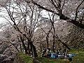 Cherry Blossom Picnic.JPG