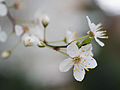 Cherry blossom (12877648615).jpg