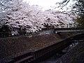 Cherry blossom near Zenpukuji river, Tokyo; July 2006 (09).jpg