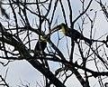 Chestnut mandibled toucan (Yellow throated toucan) (26885354488).jpg