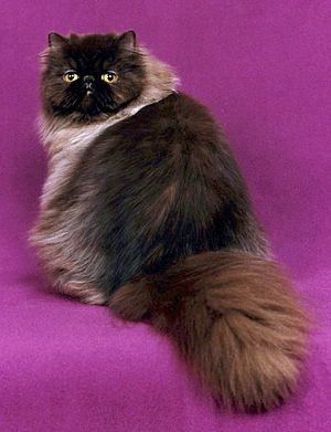 Persian Cat. Grand Champion
