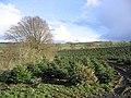 Christmas tree plantation - geograph.org.uk - 352825.jpg