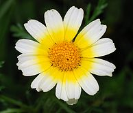 Chrysanthemum January 2008-1.jpg