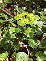 Chrysosplenium alternifolium Bremgartenwald 1.JPG