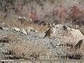 Chukar Partridge (Alectoris chukar) (32876942107).jpg