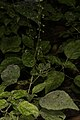 Circaea lutetiana (35697266443).jpg
