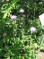 Cirsium heterophyllum000.jpg