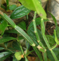 Cissus quadrangularis.png