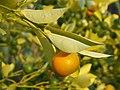 Citrus × microcarpa Kalamondin 2018-10-06 01.jpg