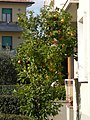 Citrus Empoli 2.jpg