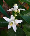 Citrus x limon Blüten und Schädlinge.JPG