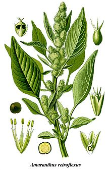 Cleaned-Illustration Amaranthus retroflexus.jpg