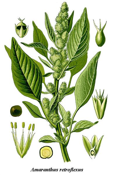 http://upload.wikimedia.org/wikipedia/commons/thumb/2/25/Cleaned-Illustration_Amaranthus_retroflexus.jpg/391px-Cleaned-Illustration_Amaranthus_retroflexus.jpg