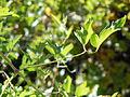 Clematis ligusticifolia (5062887714).jpg