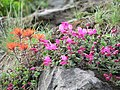 Cliff paintbrush and cliff penstemon. (66f955b1352c4af689ca419cfe453a90).JPG