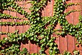 Climbing ivy on fence.jpg
