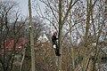 Climbing lumberjack1.jpg