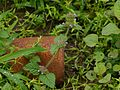 Clinopodium vulgare (7764441556).jpg