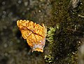 Close wing position of Symbrenthia lilaea Hewitson, 1864 – Northern Common Jester.jpg