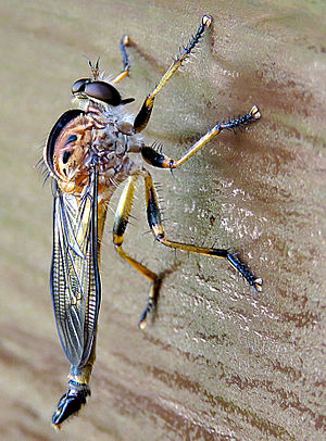 Asilidae - Robber fly close-up