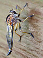 Closeup Robber Fly.jpg