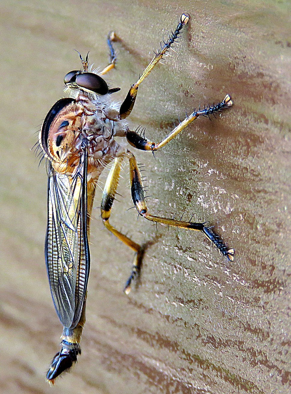 Closeup Robber Fly