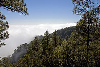 Canary Islands dry woodlands and forests Terrestrial ecoregion in the Canary Islands