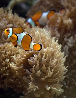 Clownfish in aquarium.jpg