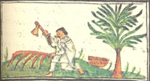 Lignum nephriticum - A depiction of coatli (Eysenhardtia polystacha) being harvested by an Aztec man in the Florentine codex