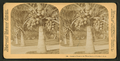 Cocoanut (coconut) trees in the white sands of Florida, U.S.A, from Robert N. Dennis collection of stereoscopic views 14.png