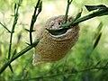 Cocoon on the pokok Hempedu Bumi (Andrographis paniculata).JPG