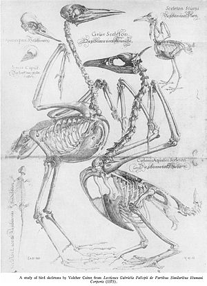 Volcher Coiter - Avian anatomy illustration by Coiter