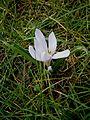 Colchicum hungaricum 011.jpg