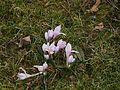 Colchicum hungaricum clump1.jpg