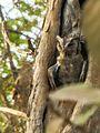 Collard Scops Owl.jpg