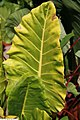 Colocasia esculenta Rhubarb 1zz.jpg