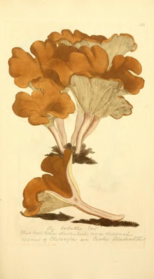 Coloured Figures of English Fungi or Mushrooms - t. 186.png