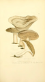Coloured Figures of English Fungi or Mushrooms - t. 203.png