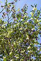 Colutea orientalis - Fructification.jpg