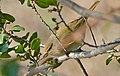 Common Chiffchaff (Phylloscopus collybita)(Thanks to Ph. GENIEZ for the ID) (25793874040).jpg