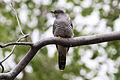 Common Cuckoo (Cuculus canorus) (8079424957).jpg