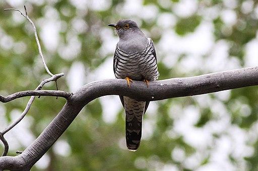 Common Cuckoo (Cuculus canorus) (8079424957)