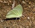 Common Emigrant (Catopsilia pomona) in Hyderabad W IMG 8475.jpg