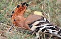 Common Hoopoe (Upapa epops) at Hodal I IMG 9225.jpg