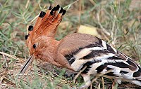 Common Hoopoe (Upapa epops) at Hodal I IMG 9225