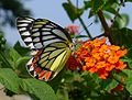 Common Jezebel. Delias eucharis - Flickr - gailhampshire.jpg