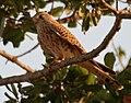 Common Kestrel (Falco tinnunculus) in Kinnarsani WS, AP W IMG 6037.jpg